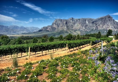 19152415 - view across vineyards of the stellenbosch district with the simonsberg mountain in the background , western cape province, south africa.
