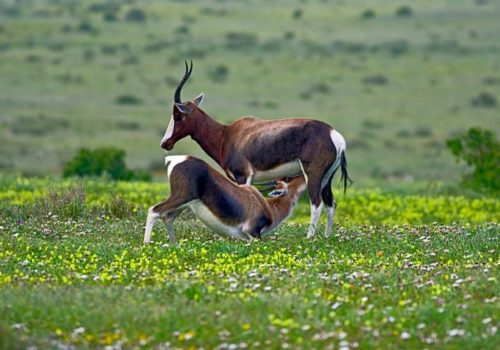 West-Coast-Wildlife-Bontebok-SANParks-min